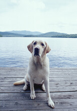 United States, New York, Lake Placid, Wet Yellow Labrador Retriever Sitting On Wooden Pier By Lake