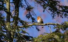Rotkehlchen Singend Auf Nadelbaum Frei Vor Blauem Himmel