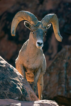 United States, Nevada, Bighorn Sheep (Ovis Canadensis) On Rock