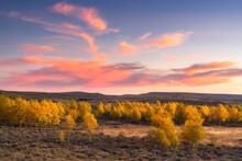 United States, Oregon, Aspen Trees In Landscape At Sunset