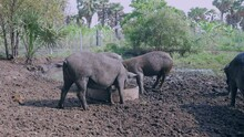 Drift Of Wild Pigs Eating Out Of A Trough And Wading In The Mud
