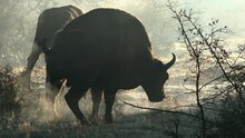 Silhouette Of Defecating Bison