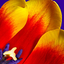 Tulip Flower Closeup Macro With Red And Yellow Petals Stamen And Pistil