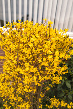 Bright Yellow Forsythia Flowering In Early Spring In Front Of A Window With White Vertical Blinds