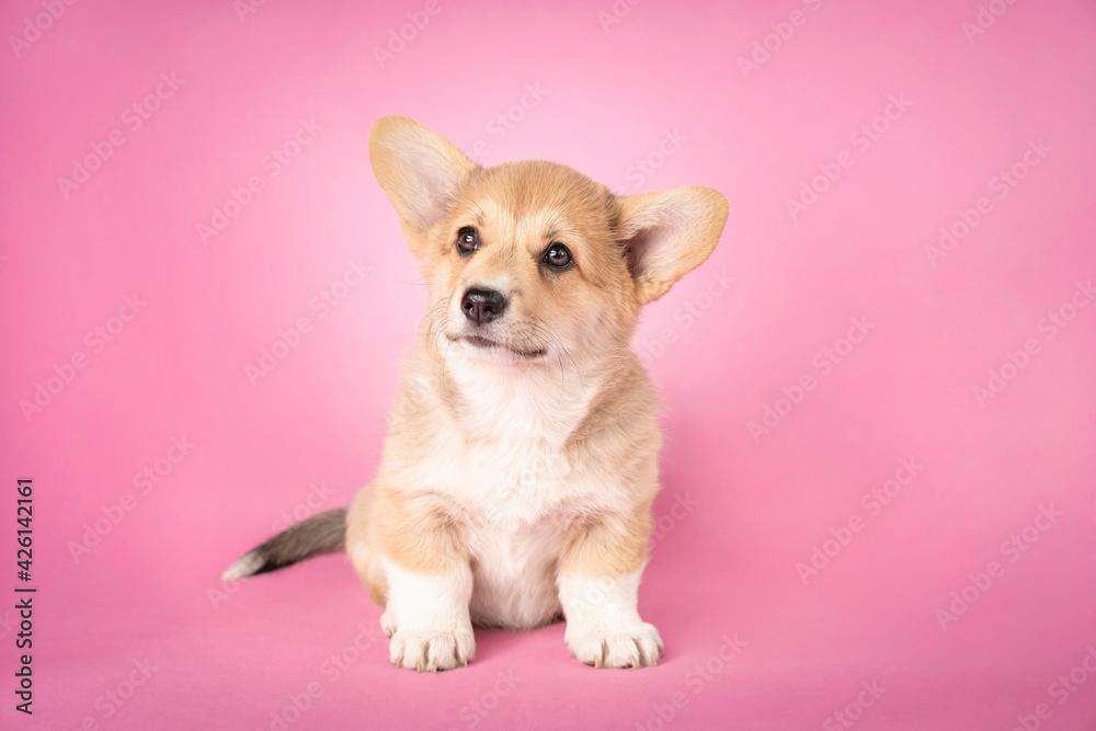 Fototapeta Szczeniak rasy welsh pembroke corgi siedzi na różowym tle. Zdjęcie studyjne