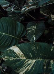 Naturalne tropikalne ciemne tło roślinne, tekstura deseń zielonych liści monstera.