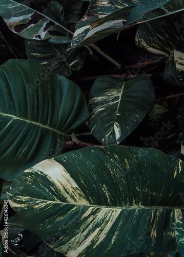 Naturalne tropikalne ciemne tło roślinne, tekstura deseń zielonych liści monstera. - fototapety na wymiar