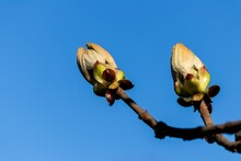Large Swollen Buds Moist From Juice On A Horse Chestnut Branch In Spring
