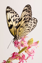 The Idea Leuconoe Tropical Butterfly Is Yellow With A Black Pattern On The Wings Sitting On A Pink Flower.