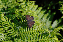 A Purple Hairstreak Butterfly Resting On Bracken.