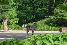 Zebra In The Shade Of Trees In The Park In Spring