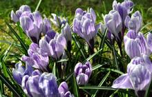 Zdjęcie Przyrody Przedstawiające świeże Kwitnące Krokusy Wiosną