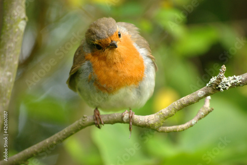 Canvas Print Robin red breast on a tree branch