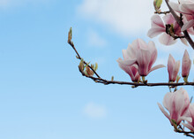 White And Pink  Magnolia Flowers On The Brunch Against Blue Sky In Sunny Spring Day