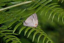 A Purple Hairstreak Butterfly Resting On Bracken.