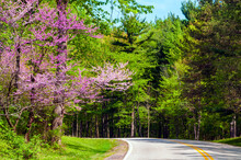 Springtime Woods With Flowering Redbud Tree