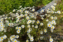 Oxeye Daisies Alongside Piece Of Old Wood