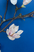 White Magnolia Blooms On The Tree Branch On The Blue Background. Close Up