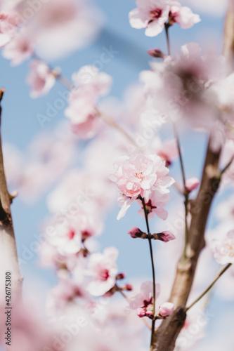 Canvastavla Almond tree blossom