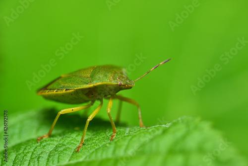 Fényképezés Bedbug on a green leaf in the garden