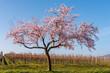 canvas print picture - Blühender Mandelbaum  (Prunus dulcis)