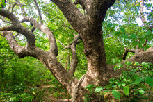 Ancient, Huge Cashew Tree, Focus On Trunk And Lower Branches In Oeiras, Piaui (Northeast Brazil)