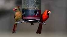 Male And Female Cardinal
