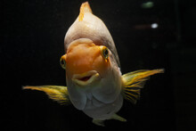 Young Adult Blood Parrot Cichlid, Bright Orange Coloration, Freshwater Hybrid, Cute, Intelligent And A Great Pet, Aggressive Fish In Pet Shop Trade Aquarium Inspect Visitors
