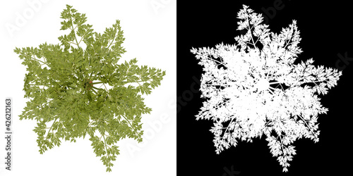 Fototapeta Top view of plant (Carrot) png with alpha channel to cutout 3D rendering