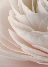 Flower Texture, Soft Sweet Peonie,