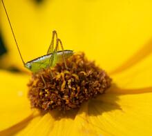 Baby Katydid On A Yellow Daisy