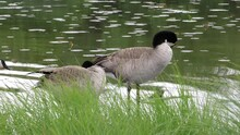 Adult Canada Geese Swimming On Pond Early Summer E USA