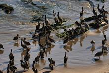 Seals And Pelicans At Carpinteria Seal Sanctuary At Sunset