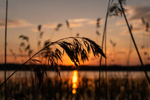 Silhouette Of Dry Wild Grass And Orange Evening Sky On The Background. Nature Background.