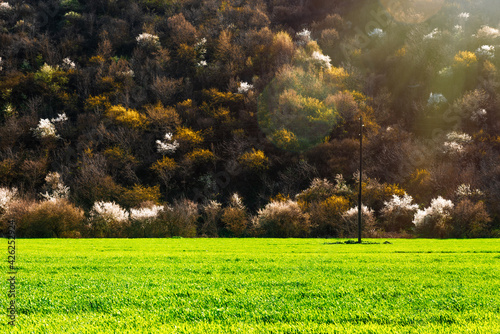 Fotografie, Obraz Blooming fruit trees in forest on the mountainside