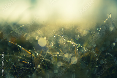 Fototapeta Green grass with morning dew at sunrise. Macro image, shallow depth of field. Blurred summer nature background obraz