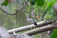 Asian Openbill Stork (Anastomus Oscitans) An Asian Open Bill Stork Standing On A Fallen Tree Over A Green River