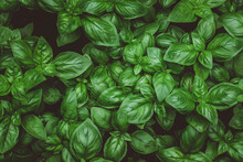 Top View Of Growing Basil On A Farm