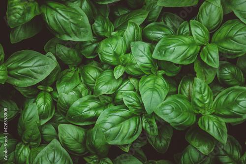 Fototapeta Top view of growing basil on a farm obraz