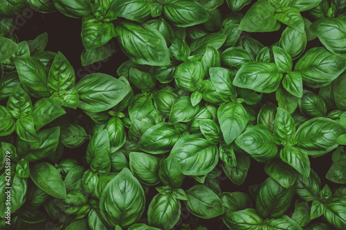 Foto Top view of growing basil on a farm