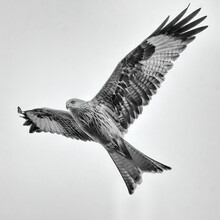 Red Kite (Milvus Milvus) In Flight Edited In A High Key, Fine Art Style. Photographed In Sussex, UK, In Winter.