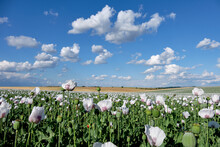 Opiun White Poppy Field, Flowers In Bloom Under Blue Sky With Clouds