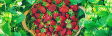 Strawberry Berries In A Basket In The Vegetable Garden. Selective Focus.