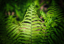 Athyrium Filix-femina, The Lady Fern Or Common Lady-fern Has Delicate, Bright Green, Filigree Leaves.  Beautiful Natural Pattern Of The Vivid Green Lush Fern Thickets Close-up. Plant Background.
