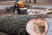 Trunk Of Sawed Diseased Linden Lying On The Ground. Lumberjack In Bokeh Background.