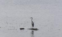 A Grey Heron Or Gray Heron Bird Perching On A Rock In Ujjani Dam At Bhigwan, Maharashtra, India