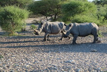 Two Rhinos In A National Park In Botswana