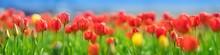 Tulips In Flowerbeds In The Garden In Spring