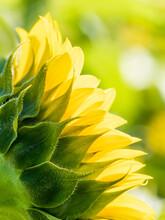 Backlit Sunflower Aganist A Soft Green Background