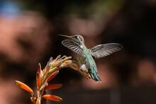 Anna's Hummingbird (Calypte Anna) Perched On Aloe (Aloe Vera) Blossom